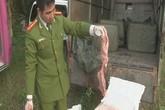 Phát hiện hơn 1 tấn nầm lợn thối trên đường tuồn về Việt Nam