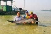 Quảng Ninh: Ngư dân huyện Cô Tô thả cá heo mắc cạn về biển