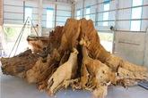 Bộ rễ cây nặng 25 tấn được trả giá 30 tỷ đồng