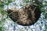 Hi hữu ở Long An: Cảnh sát chữa cháy tiêu diệt... đàn ong
