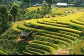 Choáng ngợp vẻ đẹp ruộng bậc thang Mù Cang Chải mùa lúa chín