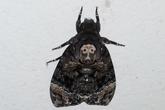 """Xôn xao """"bướm hình mặt Phật"""" xuất hiện ở Hà Nội"""