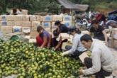Thu lãi hơn 1 tỷ đồng/năm nhờ trồng cam