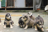 Vợ chồng chia nhau đàn chó giữa tòa