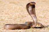Sốc, chàng trai lấy rắn hổ mang làm vợ