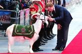 Chú dê đặc biệt khiến Hoàng tử Anh phải cúi chào