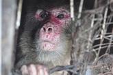 Giải cứu chú khỉ bị chủ nhân giam giữ trong bóng tối suốt 25 năm