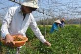 """Giá ớt bất ngờ vọt lên 40.000 đồng/kg, nông dân đội nắng """"hái lộc"""""""