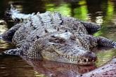 Tìm thấy thi thể nữ du khách trong bụng cá sấu dài 4,3m