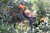 Nông dân Hòa Bình hướng dẫn cách chọn đúng cam Cao Phong chuẩn