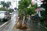 Hàng cây mới trồng trên con đường đẹp nhất Việt Nam đổ rạp vì bão
