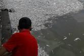 Cá chết nổi trắng Hồ Tây: Hiện tượng lạ lần đầu xảy ra