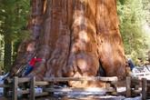 10 cây cổ thụ lớn nhất thế giới
