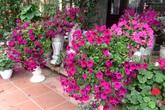 Ghen tỵ vườn 500m2 trồng phủ kín giò hoa, bồn rau