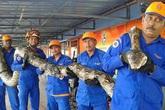 Malaysia: Bắt được trăn khổng lồ dài 8m, nặng 250kg
