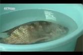 'Bóc trần' loại hóa chất Trung Quốc làm cho cá sắp chết sống lại