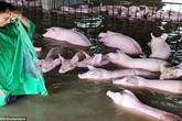 Người đàn ông đau đớn khi bỏ lại 6.000 con lợn trong biển nước