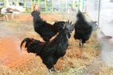 Cận cảnh những giống gà nổi tiếng có giá hàng triệu đồng/con