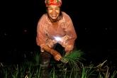Nông dân đeo đèn pin, bật pha xe máy để cấy lúa!