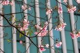 """Ngỡ ngàng trước sắc hồng rực rỡ của loài hoa được ví như """"anh đào"""" ở Sài Gòn"""