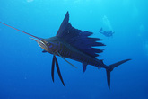 Top 10 loài cá lập kỷ lục bơi nhanh nhất thế giới