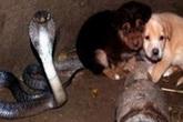 Ngã xuống giếng, cặp cún con được rắn hổ mang chúa bảo vệ suốt 48 tiếng