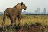 Điều trực thăng tìm 4 sư tử xổng chuồng ở thủ đô