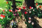 Vườn hoa xuân không thể rời mắt của Bằng Lăng ở Mỹ