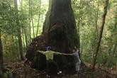 Lạc vào rừng Pơmu nghìn năm tuổi