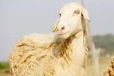 Lạ mắt với đàn cừu trên cánh đồng xứ Nghệ