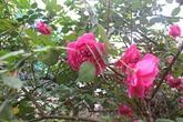 """Vẻ đẹp """"khó cưỡng"""" của cây hoa hồng cổ Sapa giá 50 triệu"""