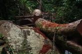 """Những cây gỗ lớn nằm la liệt ở quần thể sinh thái C'dăm do """"dân lén lút chặt""""?"""