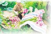 Kỳ nhân chè sen số 1 Hà Thành: Hái 2.000 bông hoa để ướp 1 cân chè