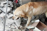 Chú chó gục chết vì kiệt sức tìm kiếm người bị nạn trong trận động đất Ecuador