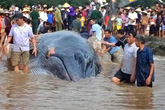 Hơn 7 giờ nỗ lực của ngư dân Nghệ An đưa cá voi khổng lồ trở về biển