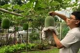 Phát thèm với vườn cây trái sai lúc lỉu của bà mẹ Việt kiều