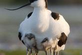 Sự thật đằng sau bức ảnh con chim có 10 chân gây sốc