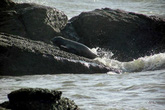 Hải cẩu xứ lạnh liên tục xuất hiện ở vùng biển Bình Thuận