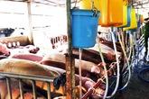 Kinh hãi hàng trăm con heo bị tiêm thuốc an thần trước khi vào lò mổ