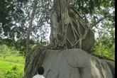 Hy hữu chuyện dân nghèo từ chối bạc tỷ để giữ gìn cây cổ ngàn tuổi