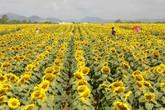 """Sức hấp dẫn của """"đồi hoa mặt trời"""" lớn nhất Việt Nam"""