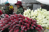 """Mai 8/3, nông dân ngán ngẩm vì hoa """"một đồng bạc một bông"""""""