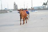 """Trâu bò """"náo loạn"""" đường ra sân bay Nội Bài"""