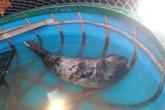 Hải cẩu quý hiếm vào gần bờ biển Quảng Nam