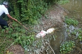 Hoang mang vì lợn chết vứt bỏ tràn lan, dân ra đường phải bịt mũi