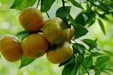Thu hàng trăm triệu đồng mỗi năm nhờ trồng cam