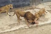 Người đàn ông lột đồ nhảy vào chuồng sư tử tự sát gây sốc
