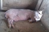 Lợn nái hung dữ cắn nát vùng kín của giám đốc