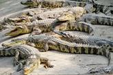 Người nuôi cá sấu lao đao vì bị thương lái Trung Quốc ép giá