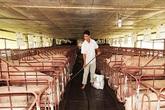 Thu hàng trăm triệu đồng mỗi năm nhờ nuôi lợn ở vùng biên